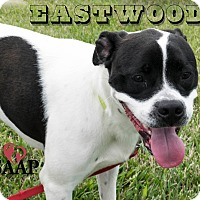 Pit Bull Terrier Mix Dog for adoption in Newport, Kentucky - Eastwood