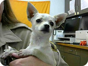 Chihuahua Mix Puppy for adoption in San Bernardino, California - URGENT 3/13 @ DEVORE