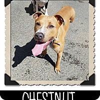 Adopt A Pet :: Chestnut - West Allis, WI