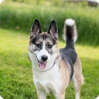 Adopt A Pet :: Sheba - Seville, OH