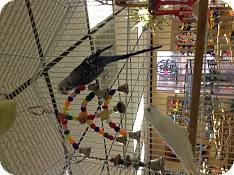 Parakeet - Other for adoption in Punta Gorda, Florida - Blue Boy & Snow White