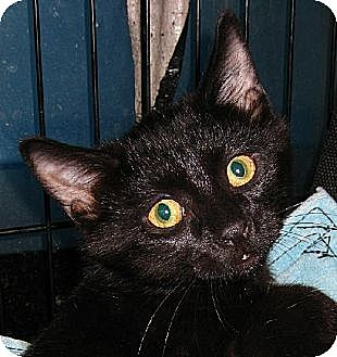 Domestic Shorthair Cat for adoption in Albuquerque, New Mexico - Lono
