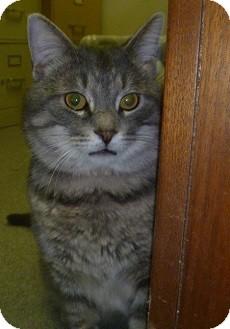 Domestic Shorthair Cat for adoption in Hamburg, New York - Lucky