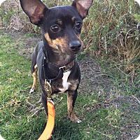 Adopt A Pet :: Matty - Mission Viejo, CA