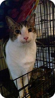 Domestic Shorthair Cat for adoption in Walla Walla, Washington - Maverick