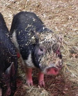 Pig (Potbellied) for adoption in Woodstock, Illinois - Simba