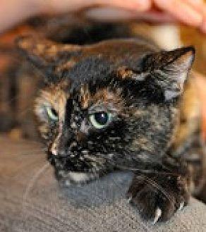 Domestic Shorthair Cat for adoption in Pt. Richmond, California - VENICE
