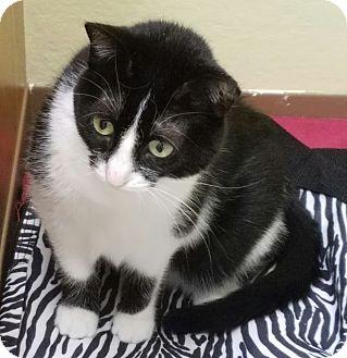 Domestic Shorthair Cat for adoption in La Crescent, Minnesota - Felicia *Perpetual Student