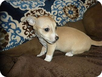 Jack Russell Terrier/Chihuahua Mix Puppy for adoption in Denver, Colorado - Toy Terrier Chihuahua Puppy