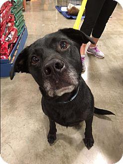 Labrador Retriever Mix Dog for adoption in Bellingham, Washington - Beau