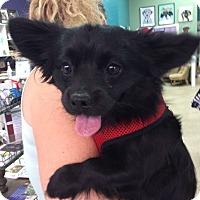 Adopt A Pet :: Skoot - Thousand Oaks, CA