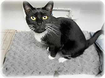 Domestic Shorthair Cat for adoption in Huntington, New York - Mai Lee