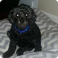 Adopt A Pet :: Middy - Portland, ME