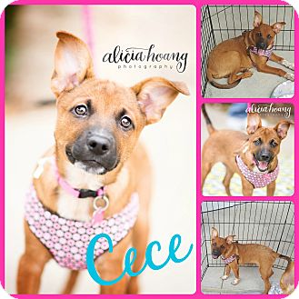 Cattle Dog Mix Puppy for adoption in Ft Worth, Texas - Cece