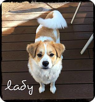 Sheltie, Shetland Sheepdog Mix Dog for adoption in Elon, North Carolina - Lady-pending adoption