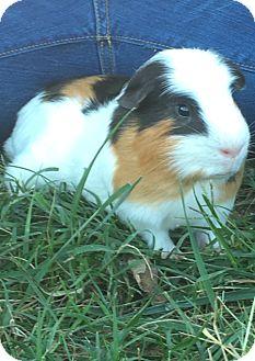 Guinea Pig for adoption in Manhattan, Kansas - A-Rod