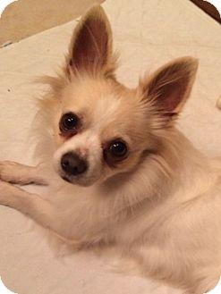 Chihuahua Dog for adoption in Edmond, Oklahoma - Fonzi