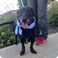 Labrador Retriever Dog for adoption in Austin, Texas - Elmo