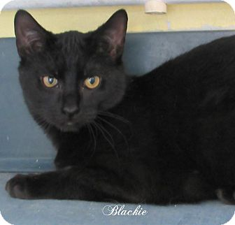 Domestic Shorthair Cat for adoption in Jackson, New Jersey - Blackie