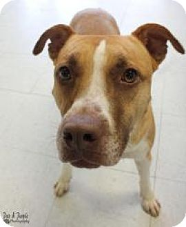 American Staffordshire Terrier Mix Dog for adoption in Yukon, Oklahoma - Monkey