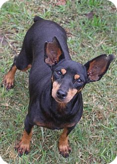 Miniature Pinscher Dog for adoption in Austin, Texas - Mona the minpin