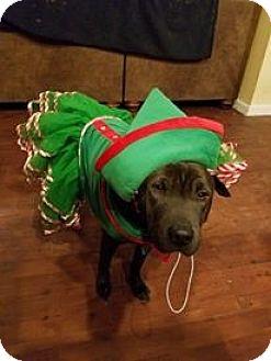 Shar Pei Mix Dog for adoption in Mira Loma, California - Starla in TX - adopt pending