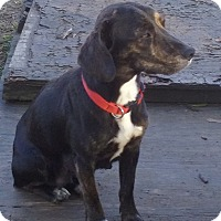 Adopt A Pet :: Pippa pending adoption - Manchester, CT