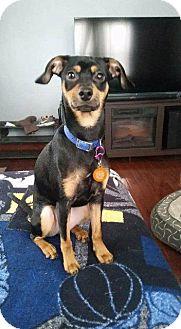 Miniature Pinscher Dog for adoption in Valparaiso, Indiana - Donner