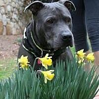 Adopt A Pet :: Kahlou - Greensboro, GA