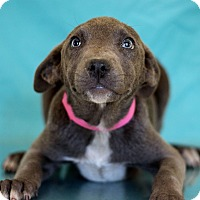 Adopt A Pet :: Sangria - Waldorf, MD