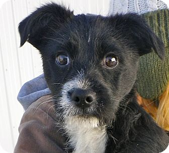 Terrier (Unknown Type, Small)/Wirehaired Fox Terrier Mix Puppy for adoption in Metamora, Indiana - Mickey