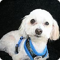 Adopt A Pet :: Beau - Ft. Bragg, CA