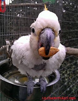 Cockatoo for adoption in Fountain Valley, California - Winston