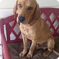 Adopt A Pet :: *Rufus - PENDING - Westport, CT