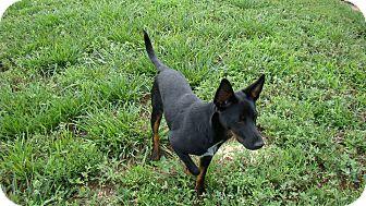 Terrier (Unknown Type, Medium) Mix Dog for adoption in Rosalia, Kansas - Billy