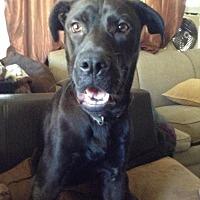 Adopt A Pet :: ZZ-Marley *courtesy post - Rancho Santa Margarita, CA