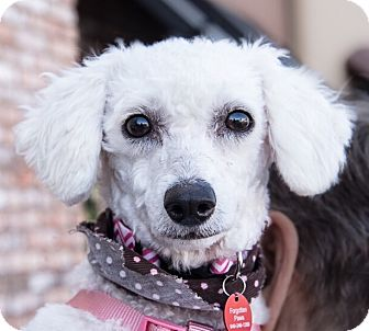 Poodle (Miniature) Mix Dog for adoption in San Marcos, California - Pala