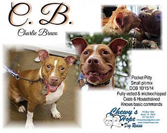 Pit Bull Terrier Mix Dog for adoption in Boyd, Texas - C.B.