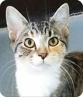 Domestic Shorthair Kitten for adoption in Colfax, Iowa - Hannah