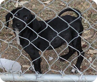 Labrador Retriever/Beagle Mix Puppy for adoption in Danbury, Connecticut - Monty
