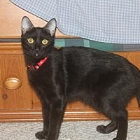 Domestic Shorthair Kitten for adoption in Santa Fe, Texas - Patience