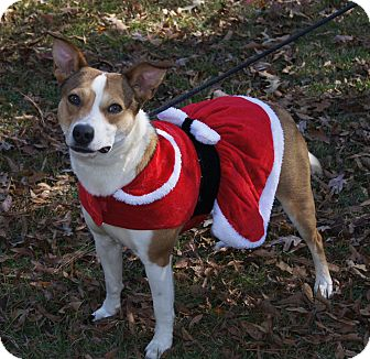 Basenji/Australian Cattle Dog Mix Dog for adoption in Saratoga Springs, New York - Sweet Jersey ~ ADOPTED!