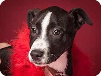 Labrador Retriever Mix Puppy for adoption in Dallas, Texas - Gwenifer