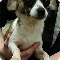Adopt A Pet :: Lady - Saddle Brook, NJ