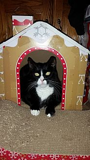 Domestic Shorthair Cat for adoption in Hamilton, New Jersey - RUTH