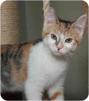 Calico Kitten for adoption in Cincinnati, Ohio - Juliet