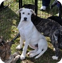 Labrador Retriever/Boxer Mix Puppy for adoption in Huntsville, Alabama - Zena