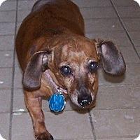 Adopt A Pet :: Brittany - Jackson, MI