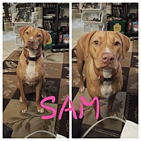 Adopt A Pet :: Sam - Hollywood, FL