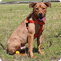 Adopt A Pet :: Niles-Adoption Pending - Pinehurst, NC